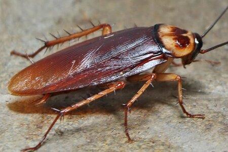 Kakkerlakken Ongediertebestrijding de Heuvelrug