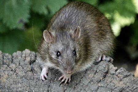 Ratten Ongediertebestrijding de Heuvelrug