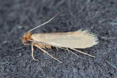 rsz_clothes-moth-pest-id